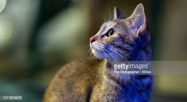 close-up of a cat looking away, mussoorie, india - the storygrapher bildbanksfoton och bilder