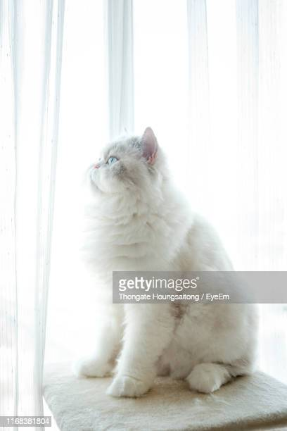 close-up of a cat looking away - persian cat stock pictures, royalty-free photos & images