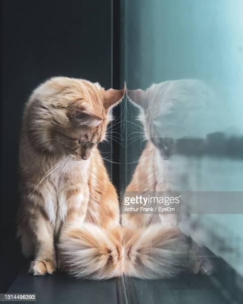 close-up of a cat looking away - maine coon cat stock pictures, royalty-free photos & images