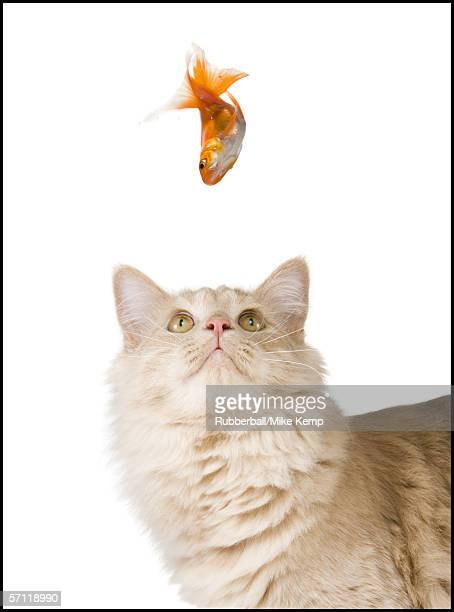 Close-up of a cat looking up at a goldfish