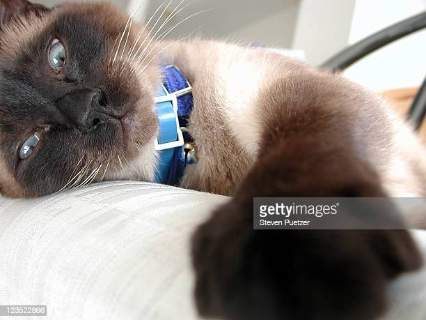 close-up of a cat - siamese cat stock pictures, royalty-free photos & images