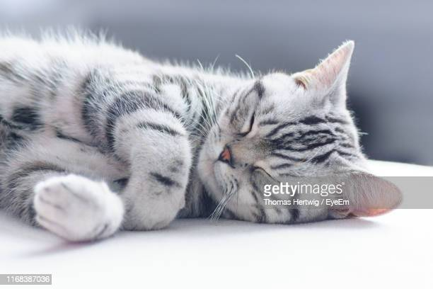 close-up of a cat sleeping - british shorthair cat stock pictures, royalty-free photos & images