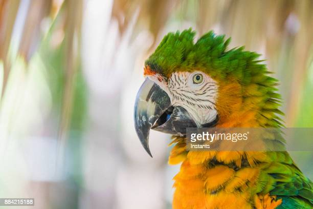 close-up of a catalina macaw, also called rainbow macaw, as seen in the bahamas. - parrot stock pictures, royalty-free photos & images