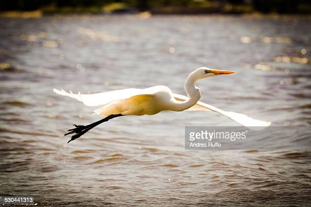 closeup of a cattle egret in flight over water - andres ruffo foto e immagini stock