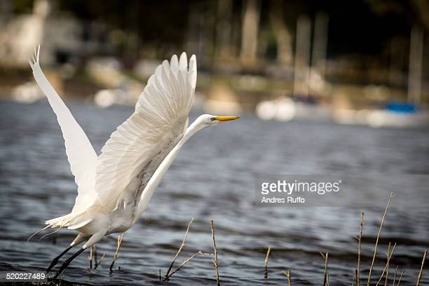 closeup of a cattle egret - andres ruffo stock pictures, royalty-free photos & images