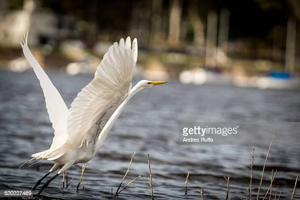 closeup of a cattle egret - andres ruffo foto e immagini stock