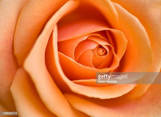 Close-up of a center of a peach-colored rose