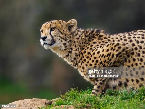 Close-up of a cheetah (Acinonyx jubatus).