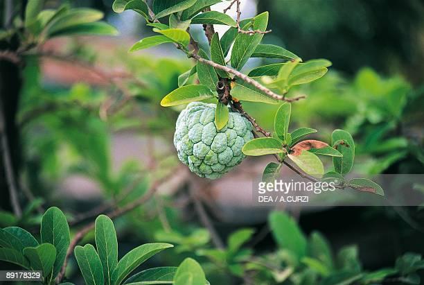 Closeup of a Cherimoya fruit