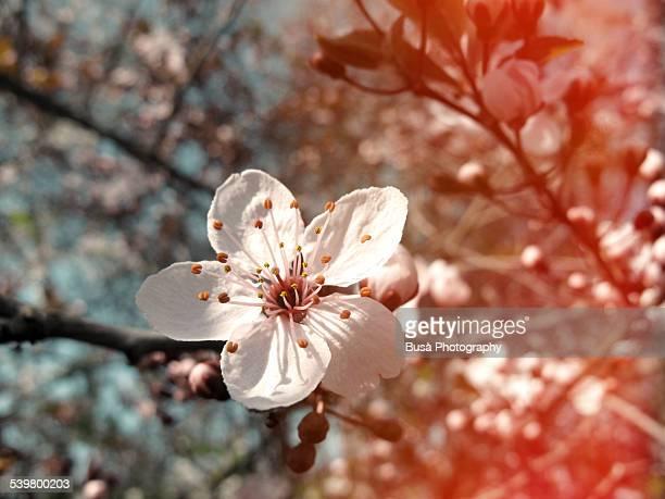 closeup of a cherry blossom - peach blossom bildbanksfoton och bilder