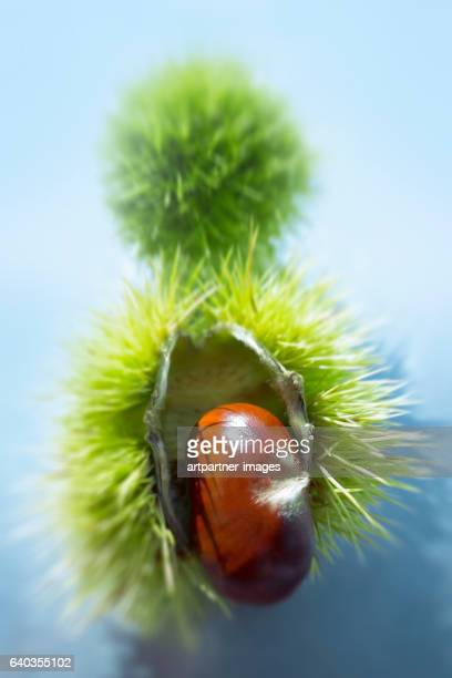 close-up of a chestnut
