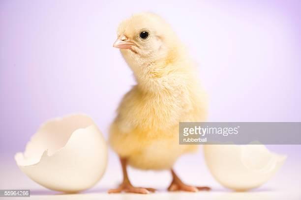 Close-up of a chicken standing besides broken eggshell