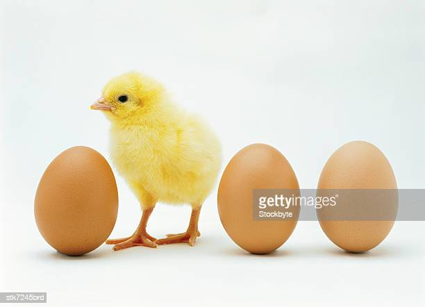 close-up of a chicken standing between whole eggs