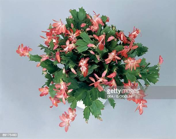 Closeup of a Christmas cactus plant