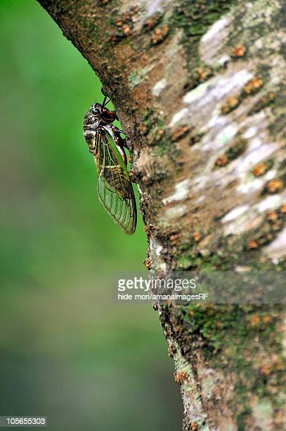 Close-Up of a Cicada Sitting on a Cherry Tree