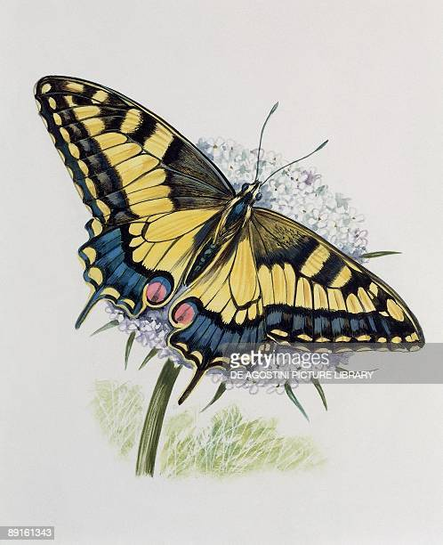 Closeup of a citrus swallowtail butterfly