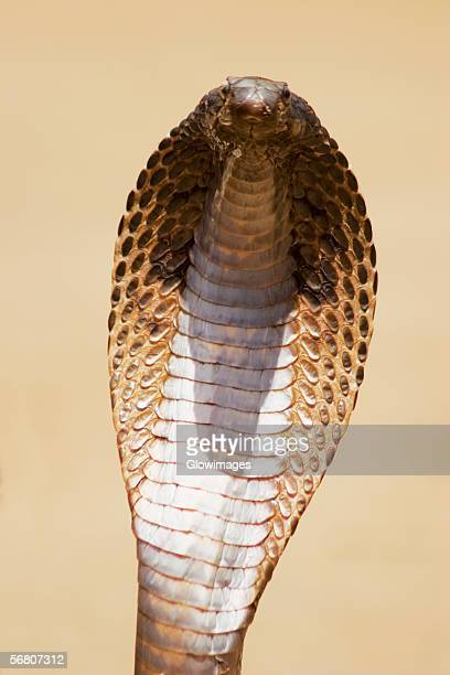Close-up of a cobra, Pushkar, Rajasthan, India