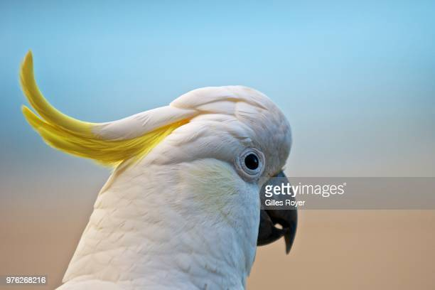 A close-up of a cockatoo.