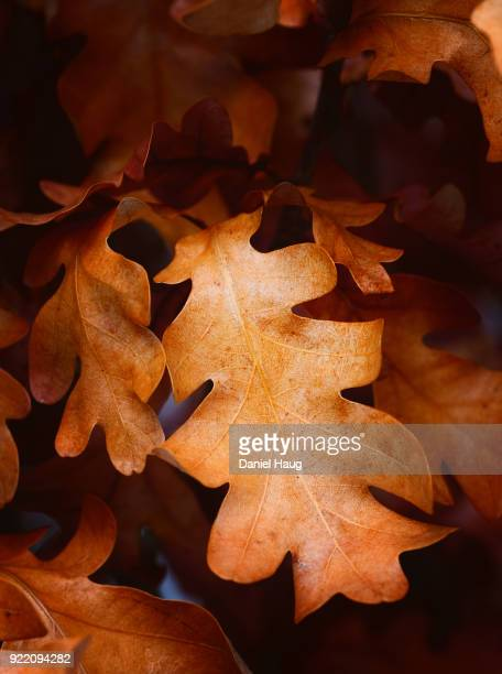 Closeup of a columnar oak tree's autumnal leaves