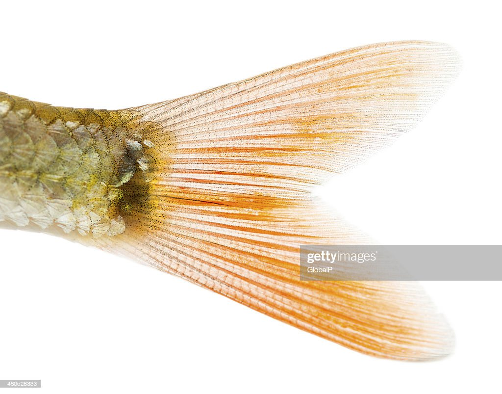 Close-up of a Common roach's caudal fin : Stockfoto