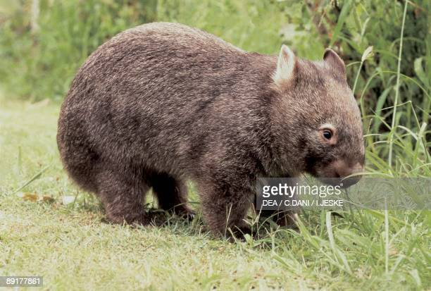 Close-up of a Common wombat