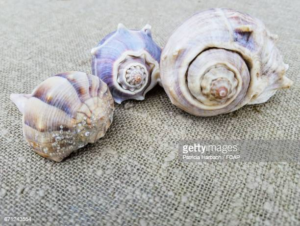 Close-up of a conch shells