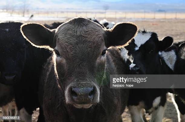 Closeup of a cow