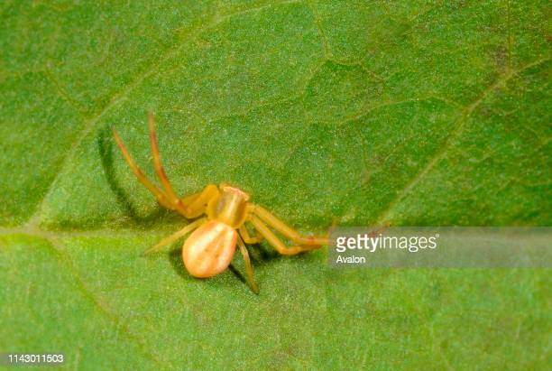 Closeup of a Crab spider in a typical resting position on a leaf in a dry meadow habitat in Croatia Europe