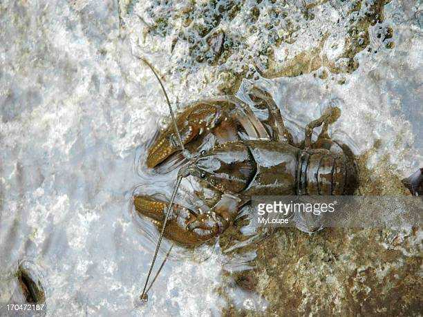 Closeup of a crayfish in a clear mountain stream