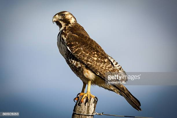 close-up of a creeping bird hawk - andres ruffo stock pictures, royalty-free photos & images