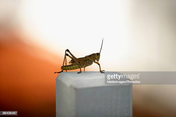 Close-up of a cricket