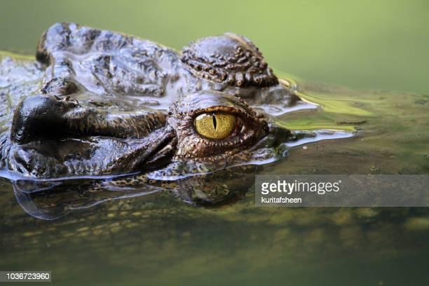 close-up of a crocodile head submerged, indonesia - 待ち伏せ ストックフォトと画像