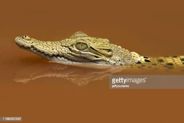 close-up of a crocodile swimming in a river, indonesia - 待ち伏せ ストックフォトと画像