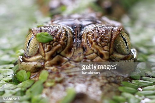 Close-up of a crocodile's eyes
