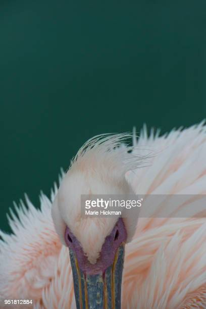 Close-up of a cropped photo of a PELICAN.