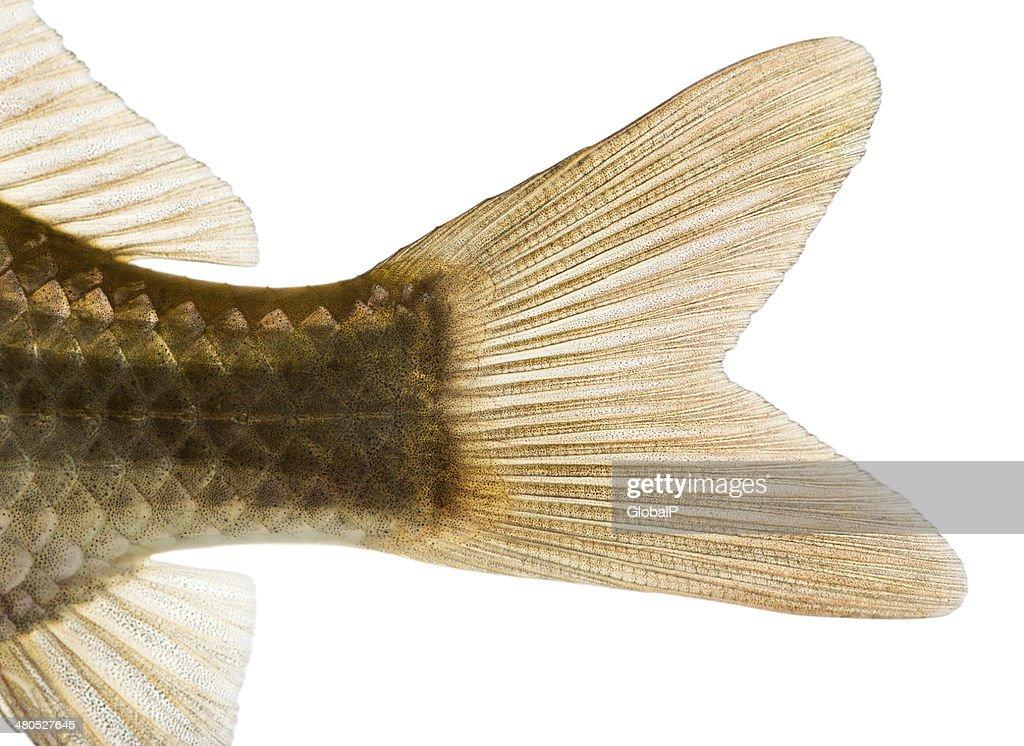 Nahaufnahme eines Karausche's caudal fin : Stock-Foto