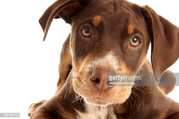 甘いドーベルマン子犬