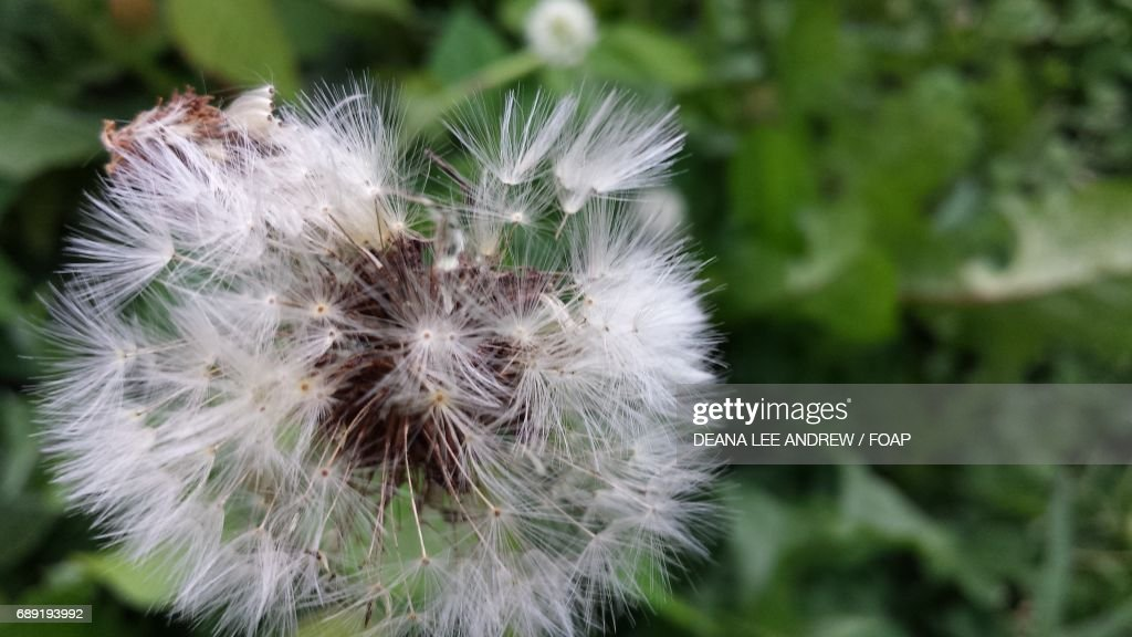 Close-up of a dandelion flower : Stock Photo