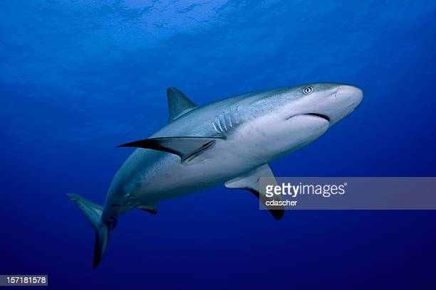 a close-up of a dangerous reef shark - sharks stock pictures, royalty-free photos & images