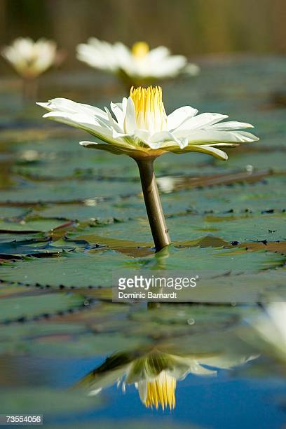 Close-up of a Day Lily Emerging From the Water