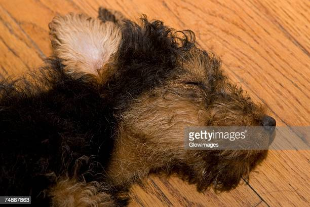 close-up of a dead dog on a hardwood floor - dead dog stock pictures, royalty-free photos & images