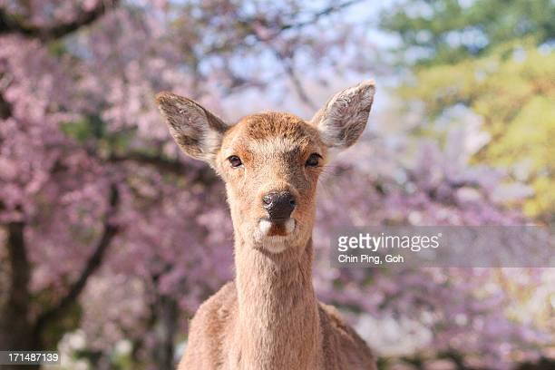Close-up of a deer, Miayjima, Japan