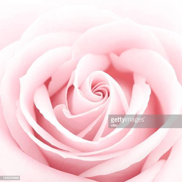 繊細なピンクのバラ