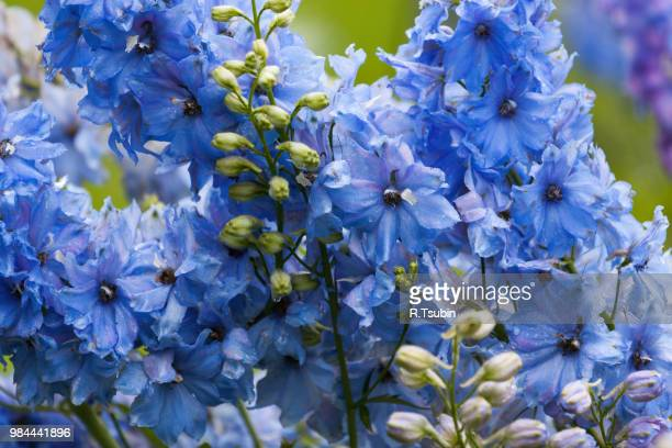 close-up of a delphinium flower in garden - delphinium stock pictures, royalty-free photos & images