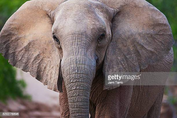 a close-up of a desert elephant - desert elephant stock pictures, royalty-free photos & images