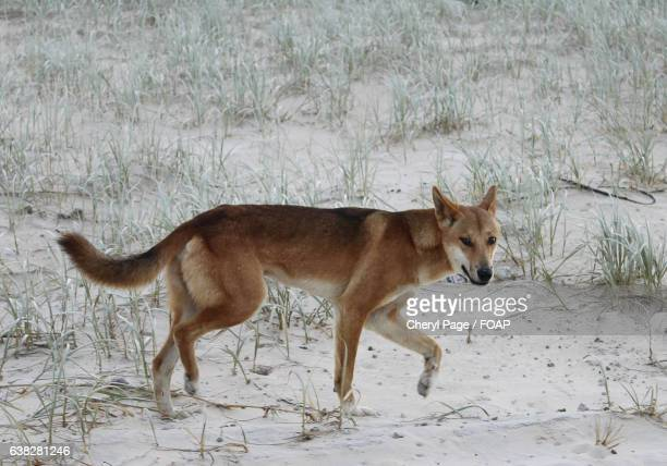 Close-up of a dingo on sand