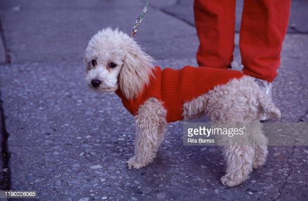 Closeup of a dog in a red sweater New York New York 1994 The photo was taken as part of a story on canine fashions