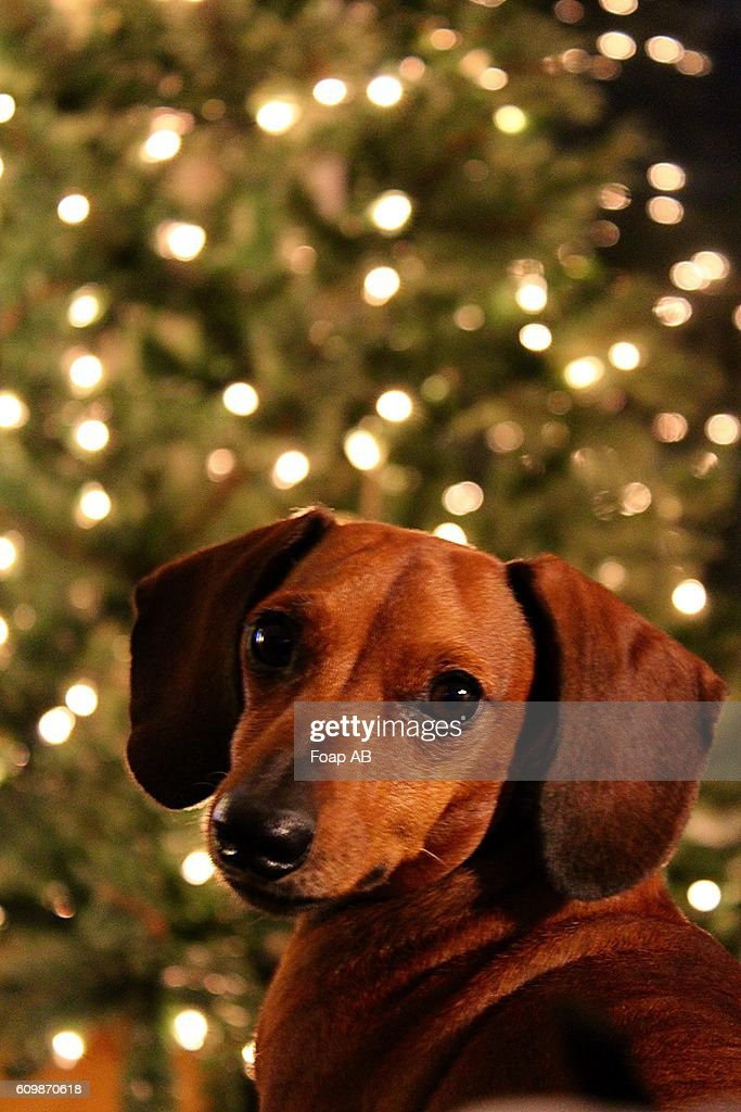 Close-up of a Dog in front of a lit christmas tree : Stock Photo