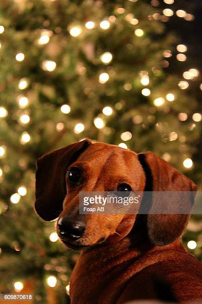close-up of a dog in front of a lit christmas tree - dachshund christmas stock pictures, royalty-free photos & images
