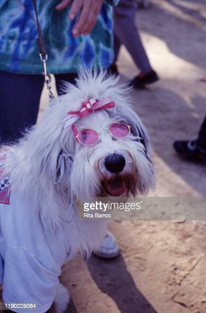 Closeup of a dog in pink sunglasses and a matching bow New York New York 1994 The photo was taken as part of a story on canine fashions